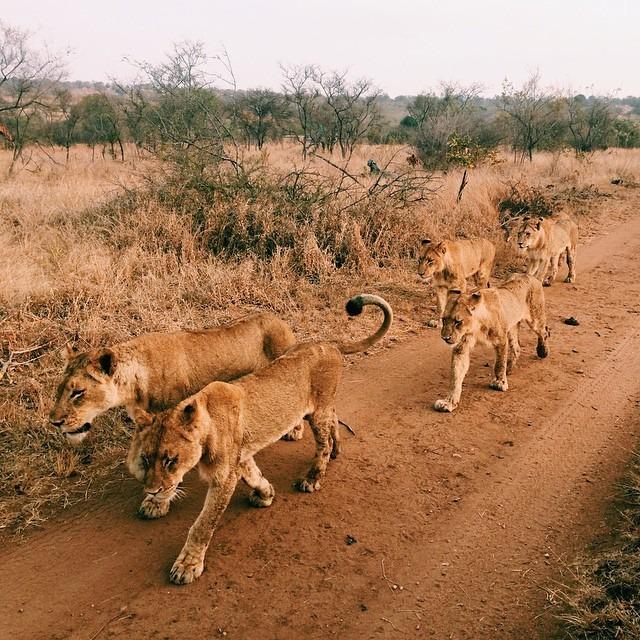 Lion pride at Ulusaba