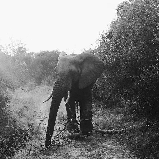 Bull elephant at Ulusaba
