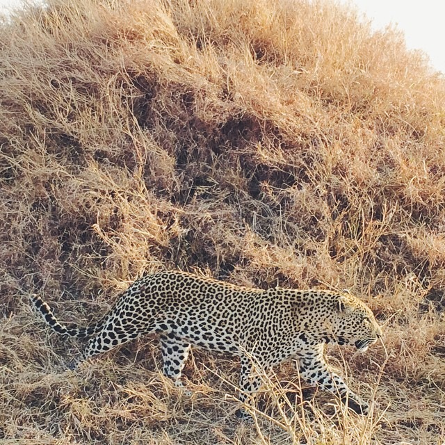 Male leopard at Ulusaba
